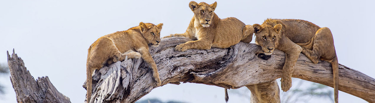 Serengeti lions on a log